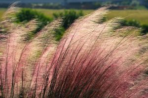 pink-muhly-ornamental-grass-blowing-in-wind
