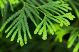 false cypress branch