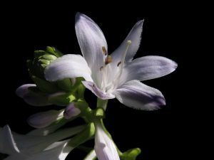 hosta flower bloom