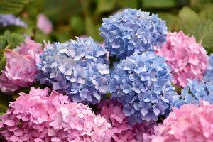 Hydrangea - heavy flower heads